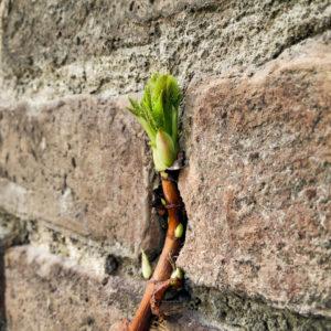 grüne Blätterknospe vor ockerfarbener Natursteinwand