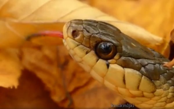 Detailaufnahme eines Schlangenkopfs in ockergrün und gelb, vor gelbem Herbstlaub, die Schlange streckt die Zunge heraus