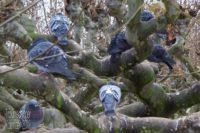 Foto: Ein einem wild verästelten Baum, wo dicke Äste in runden Formen in fast alle Richtungen wachsen, sitzen auf den laublosen Ästen mehrere graublaue Tauben. Gegen das Grüngrau des Baumes zunächst nicht einfach zu erkennen, außerdem ziehen viele die Köpfe ein und scheinen zu frieren.