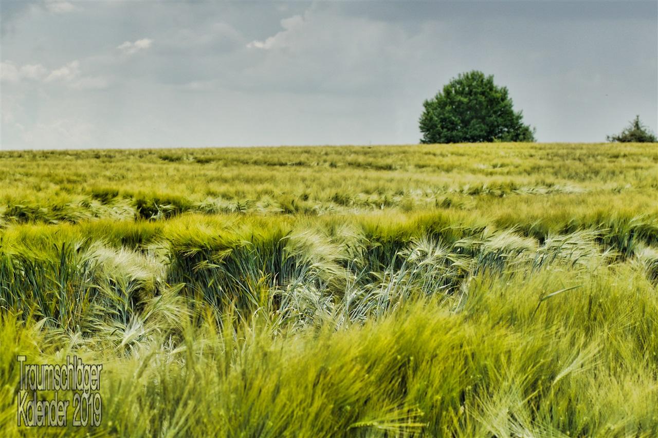 Subjektiv hochsommerliche Stimmung: Ein Getreidefeld, das im Wind wogt, am nahen Horizont zwei Bäume, alles unter einem bewegten Himmel, über den trotz Sonnenschein viele graue Wolken treiben und womöglich ein Gewitter ankündigen