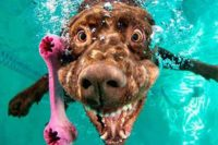 Bild aus einer Serie eines Fotografen, der Fotos davon machte, wie Hunde ins Wasser springen, um Spielzeug zu fangen. Das besondere dabei ist, die Bilder wurden von unter Wasser gemacht. Zu sehen ist im Hintergrund ein türkisgrüner Pool, vorn ein pinkfarbiger Plastikknochen. Dem offensichtlich hinterhergesprungen ist ein Hund. Er ist nah an die Kamera herangetaucht, seine Nase ist nah am Objektiv. Der Mund ist aufgerissen, um das Spielzeug zu fangen, und das Wasser hat die Lefzen gebläht. Aus den Mundwinkeln steigen Luftblasen auf und der Gesichtsausdruck des Hundes ist irgendwo zwischen groteskem Lachen und gruseligem Zähnefletschen. Schwer zu beschreiben, sind sehr einmalige Bilder.