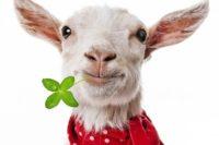 Fotomontage einer weißen Ziege mit zum Lächeln angehobenen Mundwinkeln, rotem Halstuch und einem 4-blättrigen Klee im Mund.