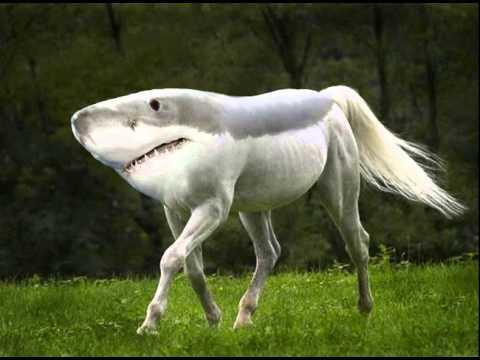 """Fotomontage: Ursprünglich ein weißes Pferd, das über eine Wiese trabt, wurden Kopf, Hals und Rücken des Pferdes digital durch Kopf und Rücken eines Haifisch ersetzt. Als Ergebnis """"trabt"""" jetzt ein Haifisch mit Pferdeschweif und vier Beinen mit Hufen über die Wiese."""