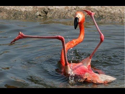Schnappschuss: Flamingo ist offenbar gerade gestolpert und liegt jetzt auf dem Rücken, die langen Beine eher unkoordiniert in die Luft gestreckt. (Warum ein Flamingo: In der bunten Dekoration des Old Fritz stechen zwei lebensgroße Flamingos besonders ins Auge)