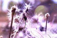 Löwenzahn oder Distelblume, im Hintergrund ein Bahndamm. Bild stark bearbeitet, mit künstlichen Lichtflecken und violetter Verfärbung.