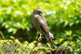 Ein junger Bussard sitzt auf einem Maschendrahtzaun. Der Vogel ist flügge, man sieht ihm aber das jugendliche Alter intuitiv noch an. Manche Federn sind noch zersaust und er hat eine jugendliche Anmutung. Sein Blick geht nach rechts unten aus dem Bild heraus