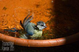 Eine halbwüchsige Blaumeise, die sich ausgiebig in einem Topfuntersetzer badet. Der Jungvogel ist recht nass und sein Federkleid struppig, mit den Flügeln wirft er Wasser um sich, die Tropfen glitzern im Sonnenlicht
